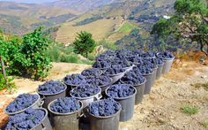 Timeless Portugal on foot - Douro Valley grape harvest