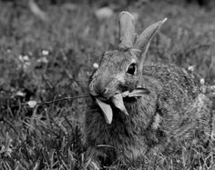 Funny Rabbit Photo  Rabbit Eating Leaves  by scribbledfieldnotes, $23.50