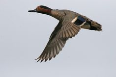 Green-winged Teal, flying (Upper Newport Bay, March).jpg (3504×2336)