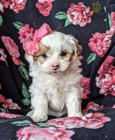 #PoodleMix #Charming #PinterestPuppies #PuppiesOfPinterest #Puppy #Puppies #Pups #Pup #Funloving #Sweet #PuppyLove #Cute #Cuddly #Adorable #ForTheLoveOfADog #MansBestFriend #Animals #Dog #Pet #Pets #ChildrenFriendly #PuppyandChildren #ChildandPuppy #LancasterPuppies www.LancasterPuppies.com Shorkie Puppies For Sale, Poodle Mix Puppies, Mini Poodles, Lancaster Puppies, Animals Dog, Mans Best Friend, Puppy Love, Pets, Sweet