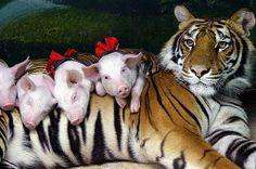 A este tigre lo agarraron de gatito..