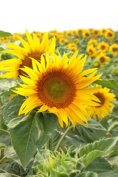 Sunflowers in the Loire Valley...