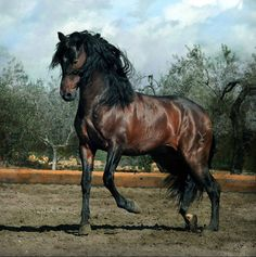 Andalusian  The Andalusian was first recognized as an individual breed in the 15th century and has changed very little of hundreds of years of selective breeding…