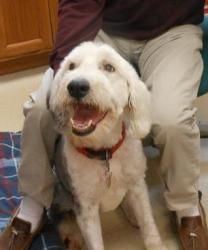 Sadie is an adoptable Old English Sheepdog Dog in Baraboo, WI. Thank you for considering a companion animal from the Sauk County Humane Society located in Baraboo, Wisconsin. If you are interested in ...