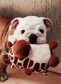 Bulldog  Pup w/Giraffe