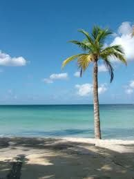 Image result for real palm tree