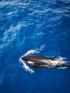 Western Australia is fast becoming known as a hotspot for killer whales. You can see these amazing creatures for yourself by taking a tour with Naturaliste Charters in Bremer Bay. Orcas, Visit Australia, Western Australia, Underwater Photography, Aerial Photography, Leagues Under The Sea, Killer Whales, Ocean Life, Marine Life