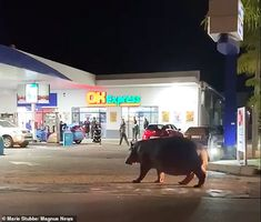 Just a casual Sunday night stroll in St. Lucia looking for snacks. The hippo returned back to the lake after grazing around town. St.Lucia town is surrounded by a large lake and extensive natural habitat for wildlife.