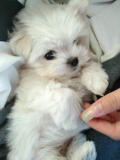 I love Maltese puppies!
