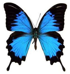 ButterflyCorner.net: Papilio ulysses (Mountain Blue)