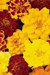 Marigold Durango Select Mix French.