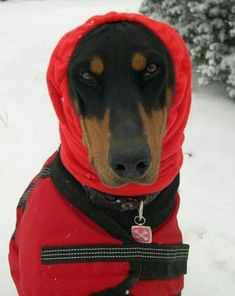 The Doberman Pinscher is among the most popular breed of dogs in the world. Known for its intelligence and loyalty, the Pinscher is both a police- favorite Weimaraner, Rottweiler, Pet Shop, Short Haired Dogs, Doberman Love, Doberman Pinscher, Dog Show, Polar Fleece, Dog Coats