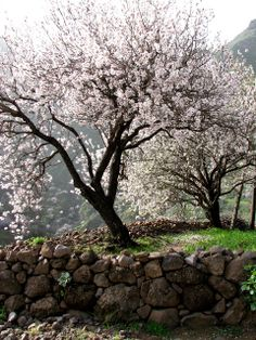 Cherry trees in Gran Canaria, Spain. Cherry Tree, Outdoor Furniture, Outdoor Decor, Spain, Photograph, Trees, Photo And Video, Photography, Sevilla Spain