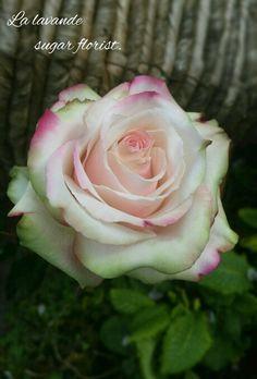 Sugar rose by La lavande sugar florist.