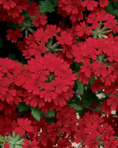 Superbena Royale Red verbena will carpet landscape in rich, red tones, is a great filler in containers too.