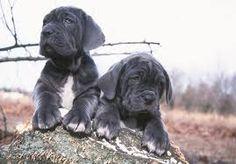 Image result for mastiff puppies