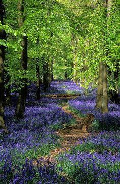 Ashridge Park, Hertfordshire, UK National Trust Woodlands carpeted with English Bluebells in Spring Beautiful World, Beautiful Gardens, Beautiful Places, Beautiful Pictures, Beautiful Forest, Beautiful Roads, English Bluebells, The Secret Garden, Woodland Garden