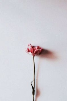 Lonely pink flower iPhone wallpaper