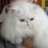 persian cat my favorite cat