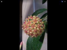 Hoya mindorensis red star