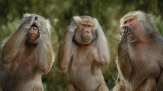 monkey see no evil speak no evil hear no evil Funny Animal Videos, Funny Animal Pictures, Animal Memes, Funny Photos, Funny Animals, Cute Animals, Monkeys Animals, Funniest Pictures, Wild Animals