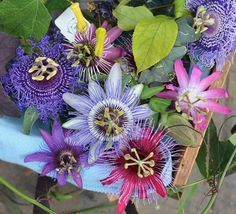 A sample of the passiflora that you may receive from us. Also called Passion Vine. Flowers are so unique! Unusual Flowers, Unusual Plants, Rare Flowers, Exotic Plants, Amazing Flowers, Purple Flowers, Beautiful Flowers, Colorful Flowers, Flower Colors