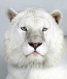 In pictures: The four faces of the Bengal tiger (Kaylash, 8 yr old male Snow White Bengal Tiger) J