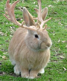 Jackalopes are rabbit/deer hybrids from folklore. Folklores about these things were inspired by a sighting of a rabbit suffering from a tumor-disease that causes it to grow horns. For info on this ...
