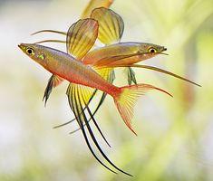 Iriatherina werneri - Threadfin rainbow
