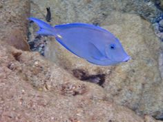 3c43040fa1c A beautiful tropical fish you could see when snorkeling on St John!   snorkeling
