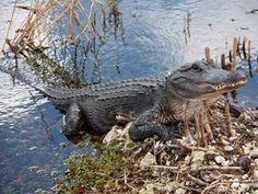 American Alligator.                                                       …