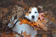 Parson Jack Russell Terrier Leaf Collar  by Heavenly Pet Photography #dog #fall #autumn #photographer