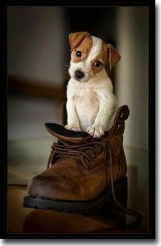 jack Russell terrier...awh now I want a puppy