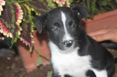 Border Collie Puppies For Sale In Pa. Here is another male puppy just placed for sale at http://www.network34.com/