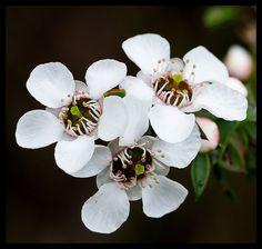 Leptospermum scoparium - Manuka | Flickr - Photo Sharing!