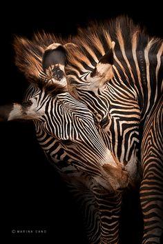 Zebra Love ~ Against A Black Background. (Photo By: © Marina Cano.)