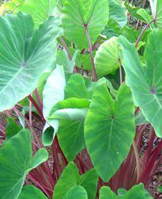 Colocasia esculenta 'Red Stem' Taro from AgriStarts Bog Garden, Next Garden, Dream Garden, Elephant Ear Plant, Elephant Ears, Green Leaves, Plant Leaves, Alocasia Plant, Lily Bulbs