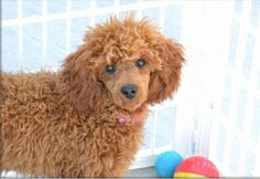The truths that only poodle owners know and understand