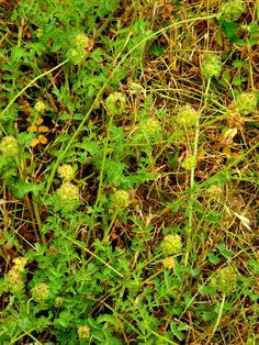 Pimpinelle, kleiner Wiesenknopf (Sanguisorba minor) mit Blüten
