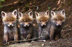 Four Little Rascals, photo by Ulrich Hopp, Wild Wonders of Europe :)