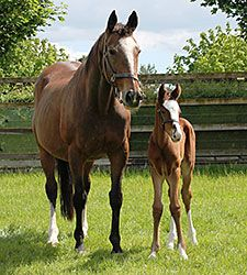 Mariah's Storm Produces Galileo Filly at the age of 23.  A daughter of Rahy, Mariah's Storm won or placed in 13 out of 16 races earning over $724,000.  Purchased for $2.6 million in foal to Storm Cat, her first foal was Giants Causeway. The Galileo filly is her 13th live foal.  Mariah's Storm is one of the great rare broodmares of all time!