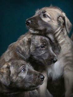 Irish Wolfhound Puppies with Blue Brindle and Grey Wheaten Colourations. Baby Puppies, Dogs And Puppies, Irish Wolfhound Puppies, Irish Wolfhounds, Animals Beautiful, Cute Animals, Scottish Deerhound, Irish Terrier, Mans Best Friend