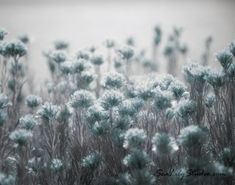 Pale Blue Light : desert flower photo nature by SeaLilyStudio