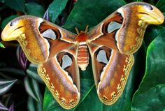 Atlas moths of Southeast Asia -- largest species of moth in the world with a wingspan of 10 to 12 inches. They only live as hatched moths for two to three weeks.