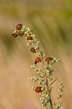 Ladybugs - This photo was taken outside of Ystad(Sweden).