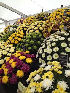Chrysanthemum flower display from the Southport Show Southport Flower Show, Chrysanthemum Flower, Display, Fruit, Flowers, Floor Space, Billboard, Royal Icing Flowers, Flower