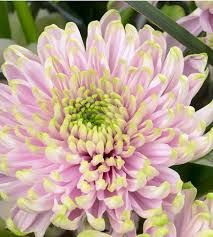 Image result for princess charlotte chrysanthemum