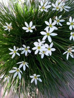 PlantFiles Pictures: Rain Lily, Fairy Lily, Zephyr Lily (Zephyranthes candida), 1 by No Mow Grass, Rain Lily, Bulbous Plants, Hedging Plants, Chinese Money Plant, Gravel Garden, Garden Path, Star Of Bethlehem, Ground Cover Plants