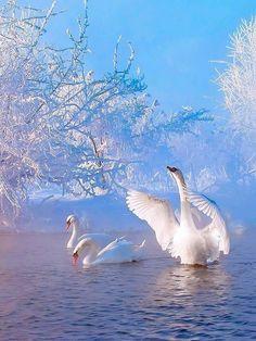 New drawing challenge animals ideas Swan Pictures, Winter Pictures, Pretty Pictures, Pretty Birds, Beautiful Birds, Animals Beautiful, Beautiful Swan, Winter Scenery, Winter Landscape