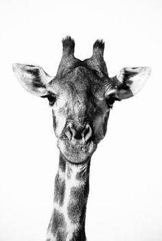 Giraffe Portrait I